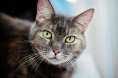 Autumn is an adoptable Dilute Tortoiseshell Cat in Marlton, NJ. Autumn has the sweetest personality in the world! She is extremely loving and is definitely a lap cat! She just loves watching Cat Sitte...