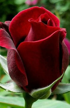 168 Best Red Roses Images Red Roses Red Beautiful Roses