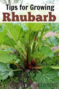 How to Grow Rhubarb in your garden - Gardening Tips for growing rhubarb, including how to plant rhubarb crowns, how to care for rhubarb plants, and how to harvest rhubarb plants. This perennial makes a great addition to your garden!