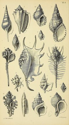 nz - 1868 - A manual of the Mollusca : a treatise on recent and fossil shells / by Dr. Waterhouse and Joseph Wilson Lowry. via BHL Seashell Tattoos, Botanical Illustration, Vintage Prints, Art Inspo, Sea Shells, Art Drawings, Body Art, Sketches, Artwork