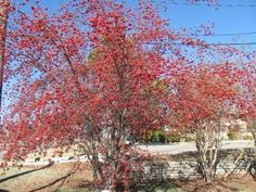 ... The Washington hawthorn is a good small tree for garden and wildlife