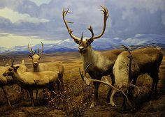 Natural History Museum - animal display by Josh uw a, via Flickr