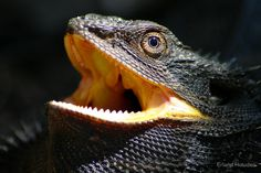 Creative Gifts For Photographers [It doesn't have to be costly] Eastern Bearded Dragon, Bearded Dragon Diet, Armadillo Lizard, Axolotl, Gifts For Photographers, Reptiles And Amphibians, Livestock, Black Is Beautiful, Creative Gifts