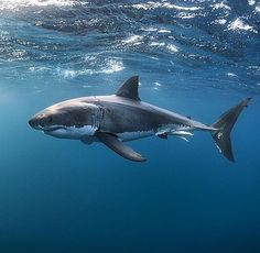 Whiteshark - requin blanc