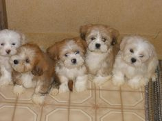 Our new baby Llasa Apso puppies.