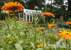 Kesäkukilla saa koko kesän kestävää kukkarunsautta laajoillekin alueille. Helpoimmillaan ne vaativat vain suorakylvön sopivalle kasvualustalle. Shrubs, Perennials, Vines, Plants, Shrub, Plant, Arbors, Perennial, Grape Vines