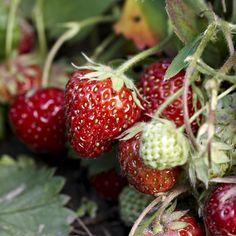 Guide til jordbærstiklinger   ISABELLAS