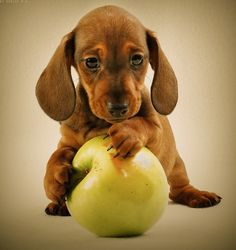 Content in a Cottage: Adorable Dachshund Puppy with Apple