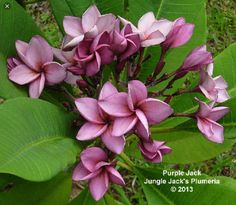 Purple Jack: The original lavender/purple plumeria. There have been more since, but this one belongs in every collection. Plumeria Flowers, Planting Flowers, Flower Pots, Flower Pot Design, Beautiful Flowers, Hibiscus, Tropical Flowers, Fruit Plants, Flowers