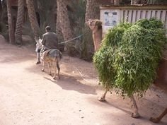 Farmer and Camel. Camels are still used in the countryside of Egypt to carry crops home. This camel's body is lost in the pile of berseem it carries. Courtesy: Maryanne Stroud Gabbani (Recoub Al Sorat), Abu Sir, Giza (Egypt).