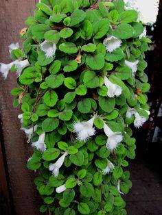 alsobia dianthiflora house plantscontainer gardeningvines