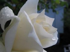 White Rose and dew drops