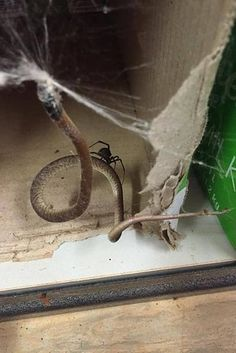 A nation where spiders take on snakes, and win. | 37 Pictures That Prove Australia Is The Land Of Nope