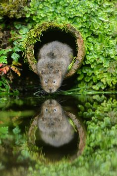 Water Vole (Arvicola amphibius) in an old drainage pipe. Kent, UK - Terry Whittaker