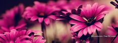 Flowers Pink 5 Facebook Covers