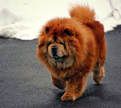 The Chow Chow is a unique breed of dog thought to be one of the oldest recognizable breeds. Research indicates it is one of the first primitive breeds to evolve from the wolf. The breed is distinguished by its unusual blue-black/purple tongue and very straight hind legs. The bluish color extends to the Chow Chow's lips; this is the only dog breed with this distinctive bluish color in its lips and oral cavity.