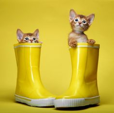 yellow cats...