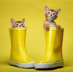 yellow cats...