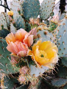 Blooming Opuntia Cactus in Arizona, United States Opuntia Cactus, Prickly Pear Cactus, Cactus Y Suculentas, Illustration Cactus, Arizona Cactus, Arizona Flower, Cactus Flower, Cactus With Flowers, Desert Flowers