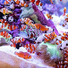 Saltwater Aquarium Decorations For Your Marine Tank Now for the enjoyable part-- saltwater fish tank designs are one element of marine fish keeping where you Saltwater Aquarium Beginner, Saltwater Aquarium Fish, Saltwater Tank, Reef Aquarium, Freshwater Aquarium, Marine Fish Tanks, Marine Aquarium, Aquariums, Pet Fish