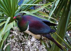 Kereru or New Zealand Native Wood Pigeon New Zealand Tours, New Zealand Art, Belgian Blue Cattle, New Zealand Mountains, Wood Pigeon, Nz Art, Photo To Art, Rare Birds, Colorful Birds