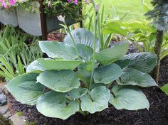 Hosta 'Blue Dolphin', O'Brien Nursery