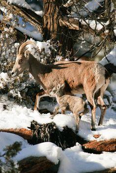 ☀so adorable ~ by Lynn Chamberlain on Flickr*~ Desert Big Horn Sheep