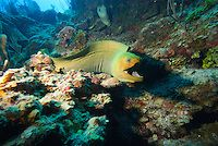 Glovers Reef Atoll, Belize, May 2012. A giant moray eel. Belize offers a great variety of reef types and diving & snorkeling experiences.. T...