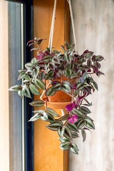 Wandering Jew plant care (tradescantia zebrina) Read how to grow and care for Tr. Wandering Jew plant care (tradescantia zebrina) Read how to grow and care for Tr. House Plants Decor, Plant Decor, Plants In Bottles, Magazine Deco, Zebra Plant, Wandering Jew, Chlorophytum, Easy Care Plants, Decoration Plante