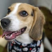 Washington District Of Columbia Beagle Meet Georgie A For