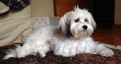 havanese puppy cut - Google Search