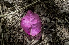 Beautiful hot pink leaf on the ground. I made this photo with a macro lens so you can see it in a large scale with great details and textures.