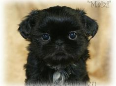 Black Shih Tzu Puppy this is what my lil Batman looks like Shitzu Puppies, Cute Puppies, Dogs And Puppies, Pet Dogs, Dog Cat, Doggies, Shih Tzu Puppy, Shih Tzus, Black Shih Tzu