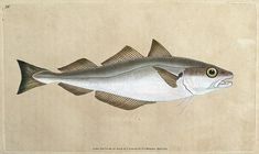 WHITING by Edward Donovan From The Natural History of British Fishes by Edward…