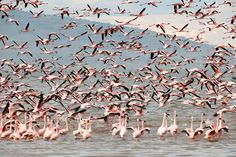 Beautiful photographic wildlife print of big flocks of Flamingoes in Flight at Lake Nakuru, Kenya. Our selection of beautiful art papers and canvas gives you endless choices. Stretched Canvas, Framed and Mounted options arrive ready to hang. The perfect print to suit contemporary or modern decor schemes. This art print is the ideal art print for wildlife art lovers.