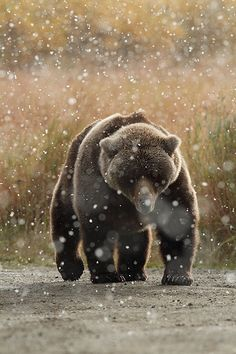 Brown Bear in snow - Katmai National Park - Alaska