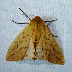 Isabella Tiger Moth | Flickr - Photo Sharing!