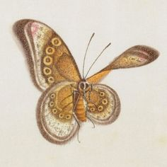 Butterfly Album e (detail), gouache. Insect sketches produced in China, 19th century | The Royal Digital Library of Belgium