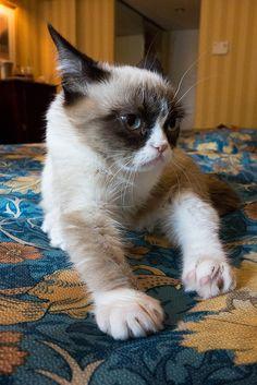 Grumpy Cat by Scott Beale, via Flickr