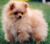 Obviously I have to throw pomeranians in the mix.