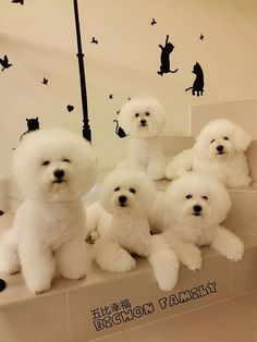 Bichon convention