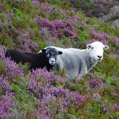 Lakeland Herdwick sheep among purple heather, Lingmoor Fell #lakedistrict #cumbria #lingmoorfell #herdwicksheep #sheep #purpleheather #heather #landscape_lovers #landscapephotography #wildlife #fellwalking #pentax #pentaxk5ii #outdoors