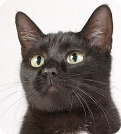 Chicago, IL - Domestic Shorthair. Meet Donna, a cat for adoption. http://www.adoptapet.com/pet/12114603-chicago-illinois-cat