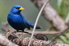 campainha-azul -   Porphyrospiza caerulescens (Wied, 1830) --{ Birds }--