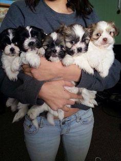 More Shih Tzu loves! ♥ A hug of Shih Tzu's Chien Shih Tzu, Shih Tzu Puppy, Shih Tzus, Yorkie, Shitzu Puppies, Cute Puppies, Cute Dogs, Dogs And Puppies, Doggies