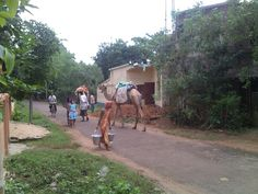 near our home a camel
