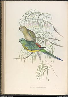 Psephotus haematonotus. from The Birds of Australia : in seven volumes. . - Page 78