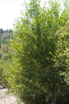 Rhamnus californica / Coffeeberry - planted 3 of these in our small San Francisco backyard and they are on their way to making a great green screen/hedge - more appropriate and less invasive than bamboo.