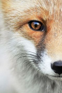 Close up of a fox ☺😇😍 Nature Animals, Animals And Pets, Wild Animals, Beautiful Creatures, Animals Beautiful, Regard Animal, Fantastic Fox, Fox Pictures, Pet Fox