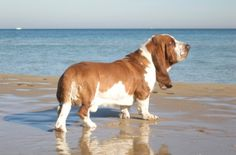 I love Bassett Hounds